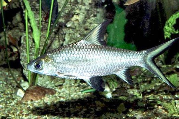 Семейство - Карповые.  Справочник видов аквариумных рыб в фотографиях.