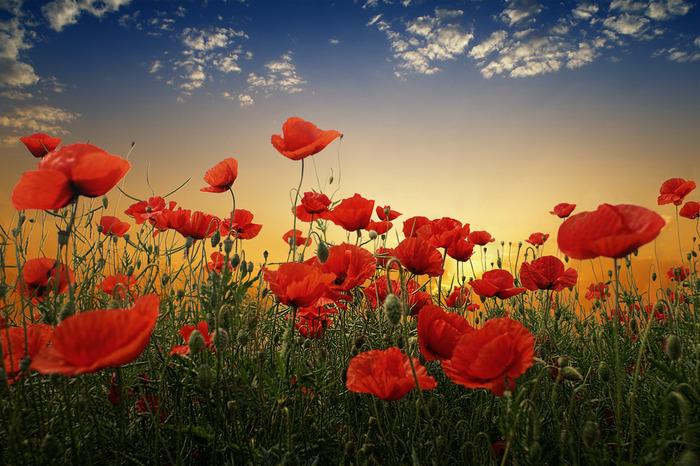 http://img1.liveinternet.ru/images/attach/c/1/62/311/62311033_1280907182_Poppies10.jpg