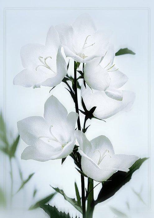 И сердце вторит его чистой песне, А жить с чудесным звоном веселей.  Цветок души...  Татьяна Лаврова.