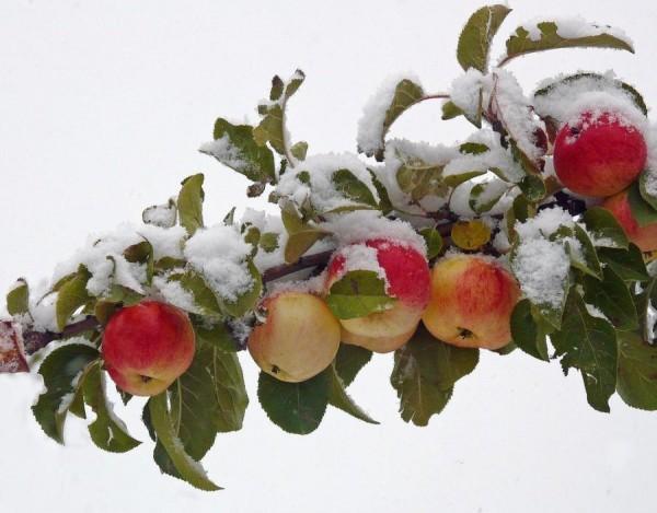Яблоки на снегу зима снег яблоки песня