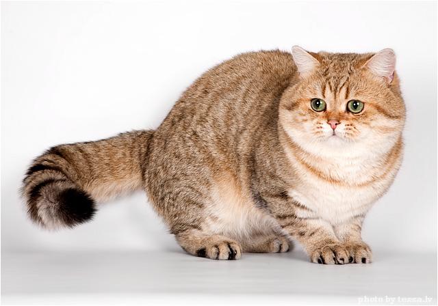 Трактат о котахъ