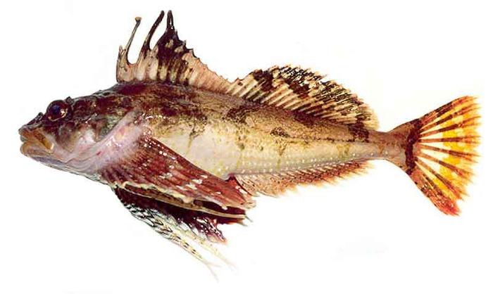 Бычковые принадлежат к донным прибрежным рыбам.