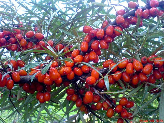 ОБЛЕПИХА Облепиха считается одним из наиболее ценных поливитаминных растений.  Она побила, кажется, все мыслимые...