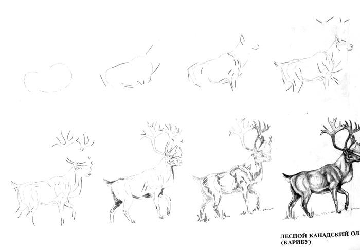 Уроки как поэтапно рисовать животных