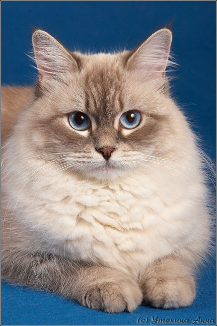 Невская маскарадная кошка Исса НЕВАда. фото котят предыдущего помета.