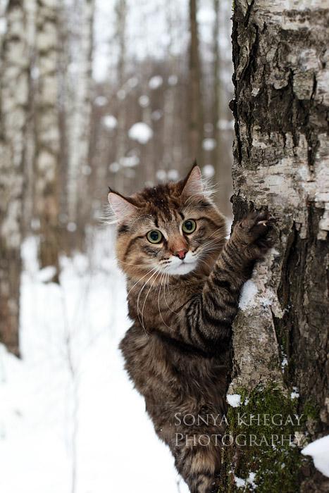 Подборка фотографий, часть 2. Норвежская лесная кошка. далее.