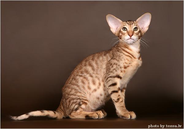 Кошек были импортированы в англию из