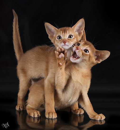 Абиссинская кошка - верный и преданный друг, помошник во всех делах.