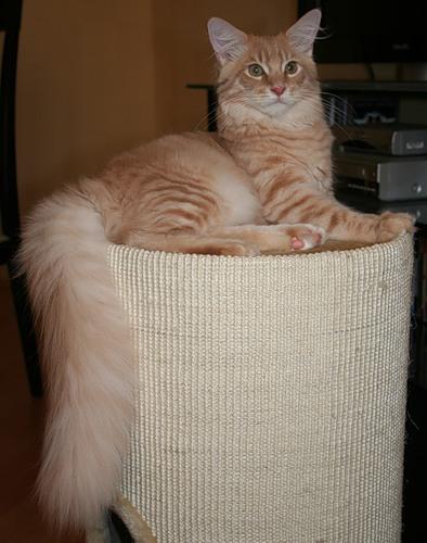 Мейн-ку́н - естественная порода кошек дружелюбного характера, которая произошла от кошки, проживающей на фермах...