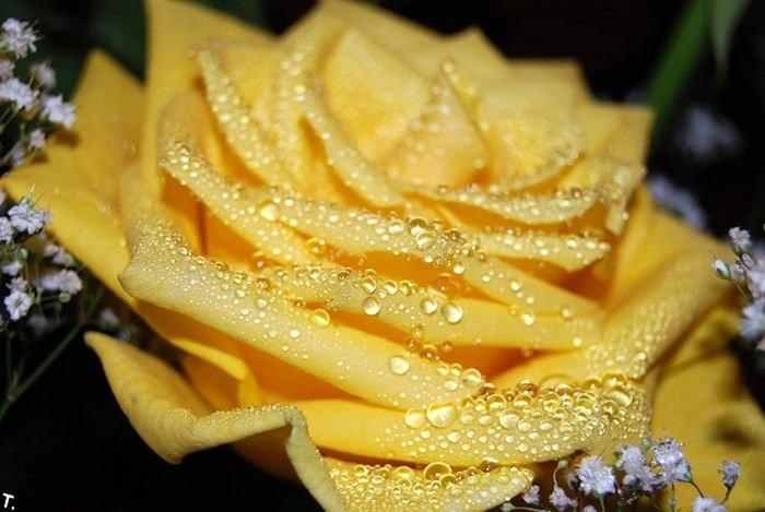 1254226676_yellow_rose_02 (700x469, 88Kb)
