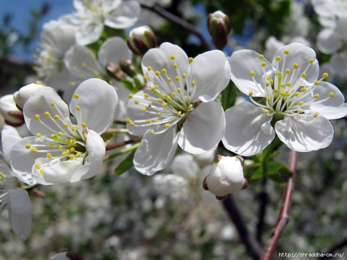 весна, май, Воронеж, цветущие сады, Shraddha 1 (700x525, 208Kb)