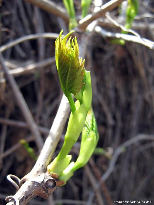 весна, май, цветение, Воронеж, Shraddha 1 (525x700, 192Kb)