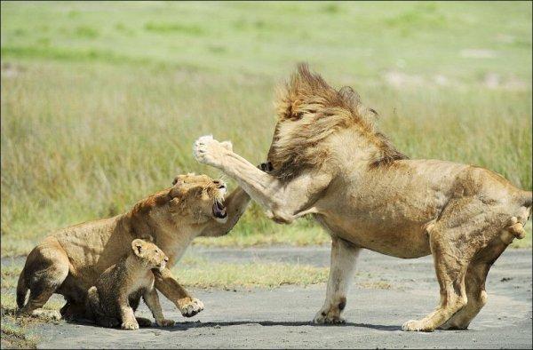 lions_ssora_01 (600x394, 52Kb)