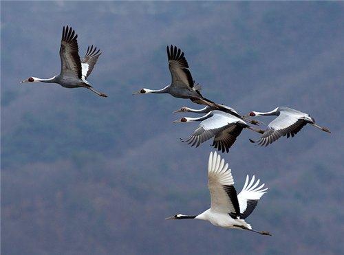 птицы фото журавли
