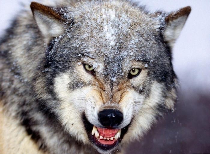 3904113_021_wolf (700x515, 246Kb)