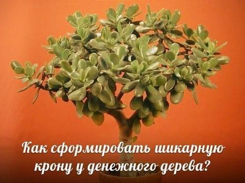 Как сформировать красивую крону у денежного дерева?