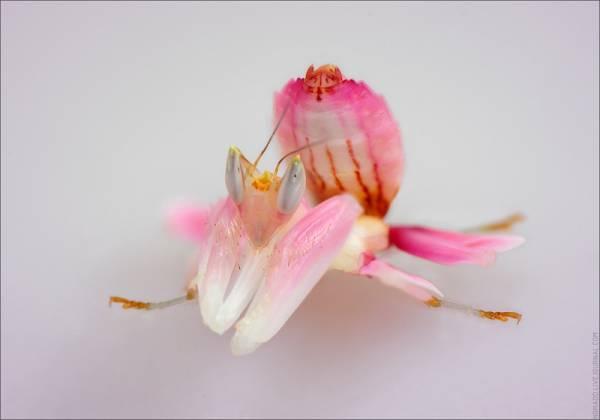 орхидейный богомол фото (600x420, 72Kb)