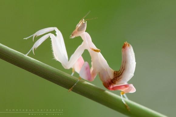 орхидейный богомол фото 4 (580x386, 101Kb)
