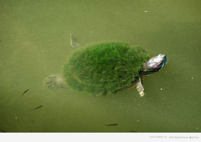 hairy-turtle3-500x332 (640x454, 27Kb)