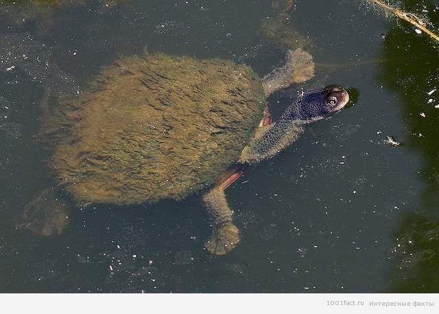 Eastern_Long-neck-Turtle-with-algae-Vic-3.1.2008 (640x457, 49Kb)