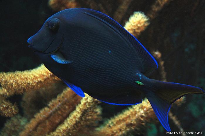 рыб отряда окунеобразных,