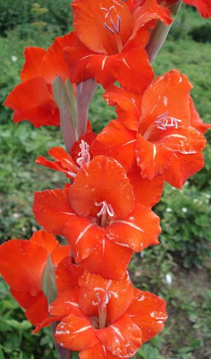 gladiolus_golland_perl2 (413x700, 96Kb)