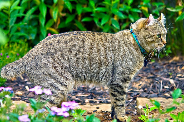 highland-lynx-cat-in-garden-susan-leggett (700x464, 116Kb)