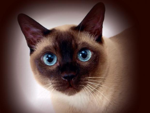 сиамская кошка 11 (620x465, 125Kb)