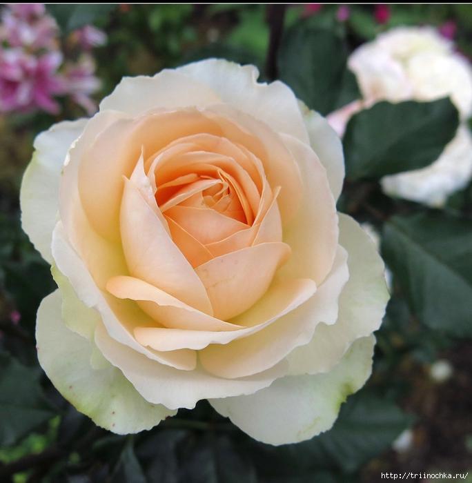 Что может быть прекраснее!  Подготовка роз к зиме!