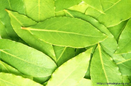 4121583_lavr_leaf (550x361, 174Kb)