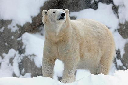 Белый медведь замёрз в Чикаго (420x280, 75Kb)
