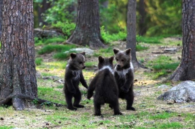 медвежата фото 1 (680x449, 234Kb)