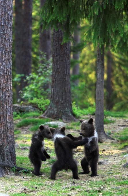 медвежата фото 3 (444x680, 213Kb)