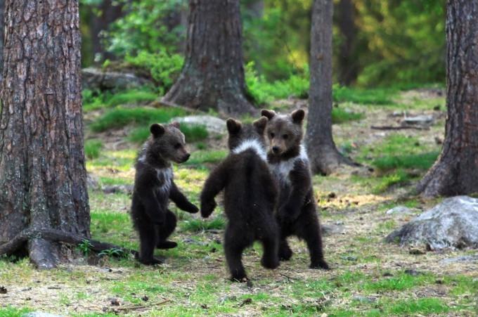 медвежата фото 5 (680x451, 234Kb)