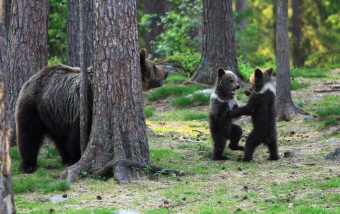 медвежата фото 7 (680x428, 262Kb)