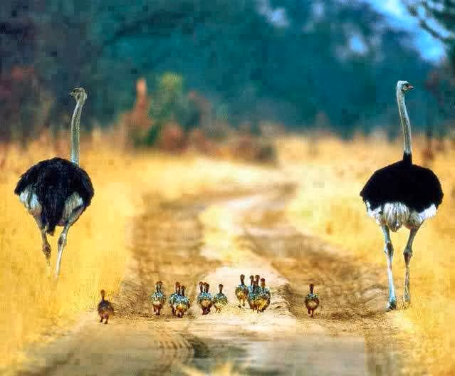 Two male ostriches and their baby chicks. (639x528, 231Kb)