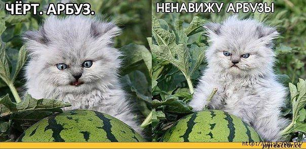Дикая морда кота, кот и арбуз, дикий бешенный дьявольский кот
