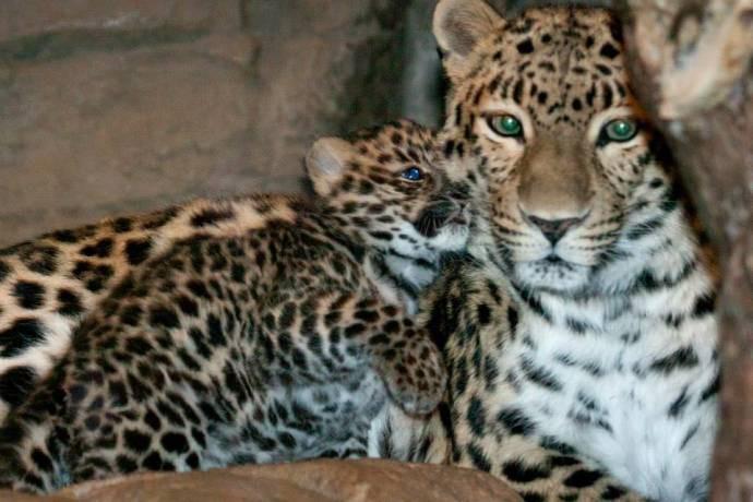 леопарденок Сочи (690x460, 71Kb)
