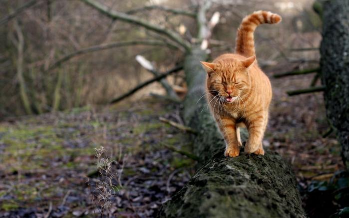рыжий кот (700x437, 322Kb)