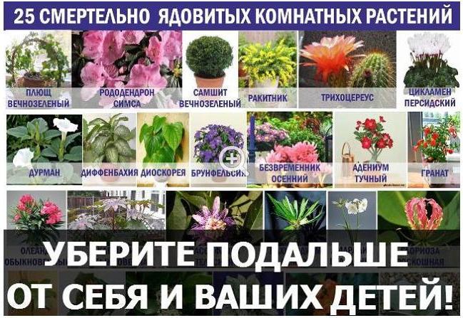 Самые ядовитые домашние цветы