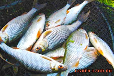 ловля на хлеб рыбы