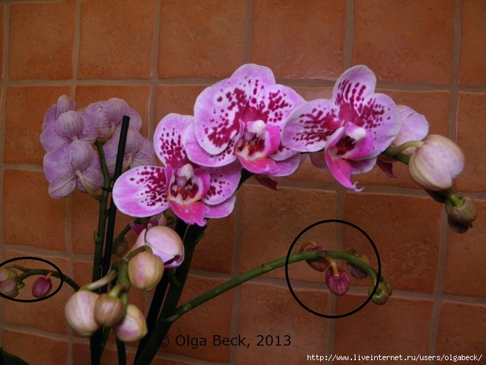 Почему вянут цветы у орхидеи что делать