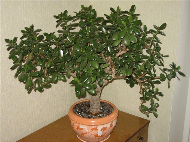 Денежное дерево уход в домашних условиях видео