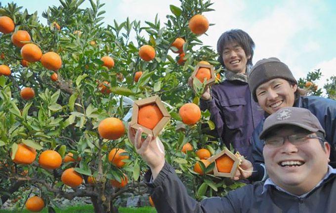 пятиугольные японские апельсины 1 (680x432, 294Kb)