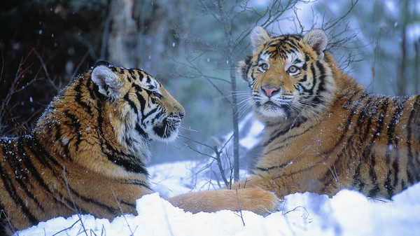 Siberian Tigers in Winter, China (600x337, 90Kb)