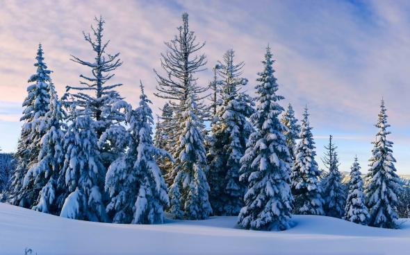 winter,forest 10 (590x368, 220Kb)