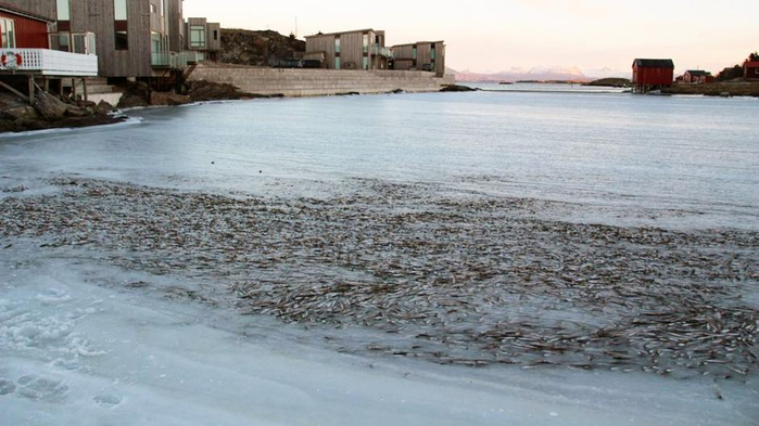мороженная селедка норвегия (700x393, 259Kb)