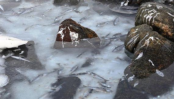 мороженная селедка норвегия 5 (570x323, 197Kb)