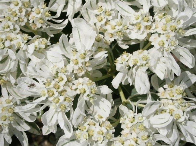 белые цветы1 (650x487, 210Kb)