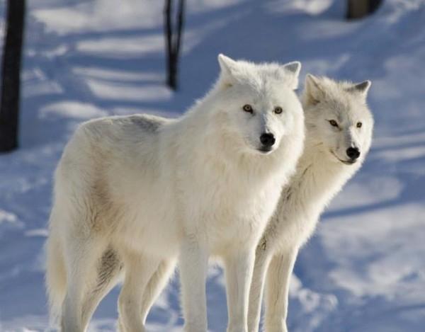 зверушки-полярные волки5 (600x469, 110Kb)